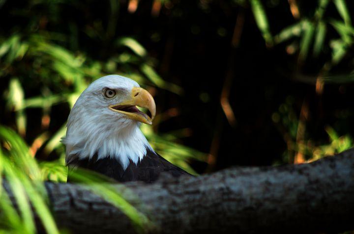 Bald eagle headshot again - ERNReed