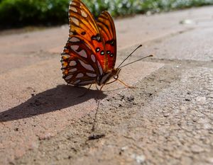 Butterfly on a brick pavement