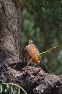 American robin in a tree