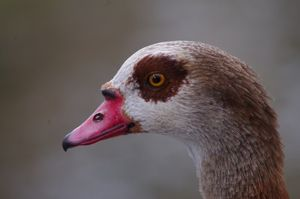 Egyptian goose headshot