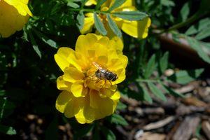 Bee on yellow marigold