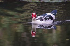 Muscovy Duck swimming in river