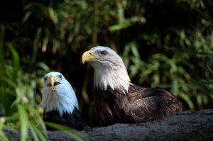 Pair of bald eagles, headshots