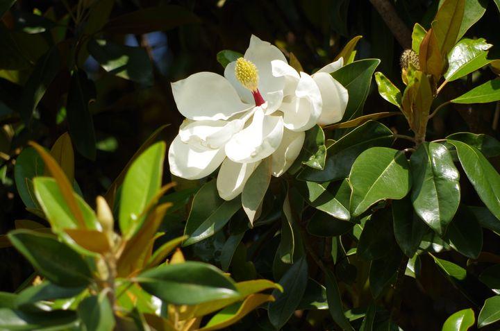 Magnolia blossom - ERNReed