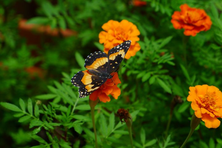 Bordered patch butterfly on marigold - ERNReed