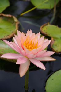 Pink water lily - ERNReed