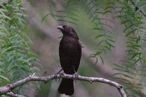 Bronzed or red-eyed cowbird