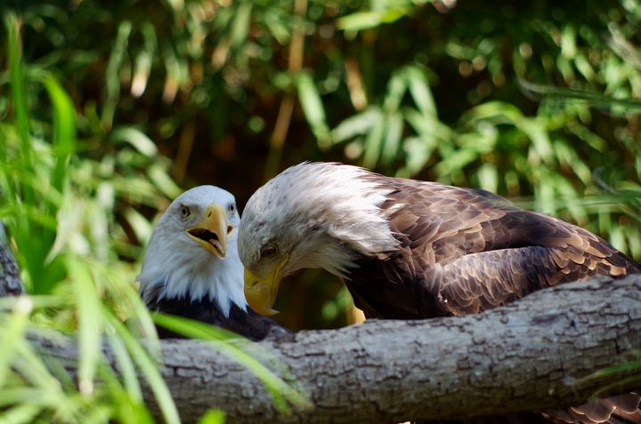 2 bald eagles secrets - ERNReed