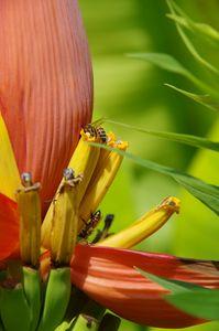 Bees on banana blossoms