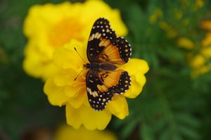 Bordered patch on marigold