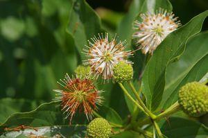 Button bush