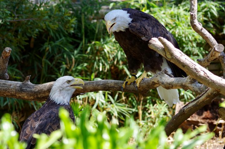 Pair of bald eagles chatting - ERNReed