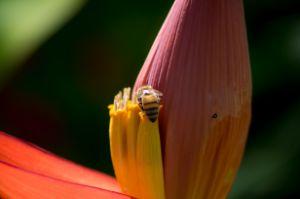 closeup banana blossom with bee
