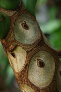 Philodendron stem