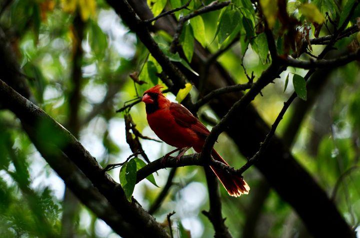 Cardinal in tree - ERNReed