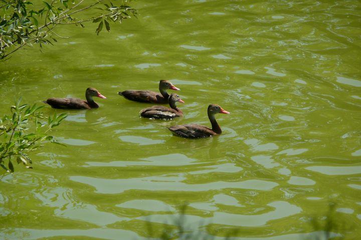 Duck pond - ERNReed