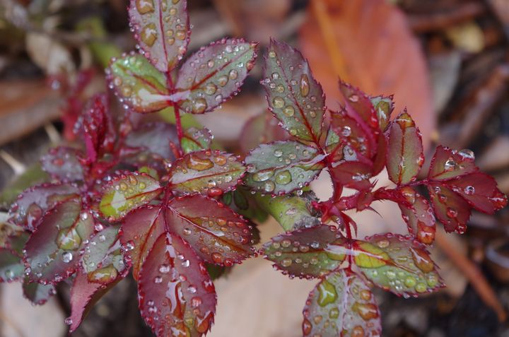 Wet rose leaves - ERNReed