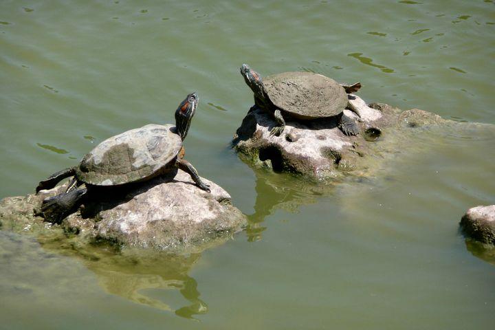 Two turtles - ERNReed
