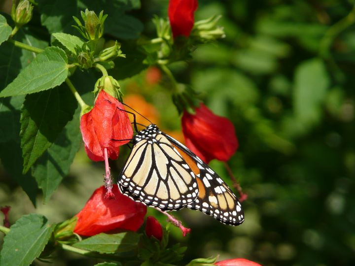 Monarch butterfly and Turks cap - ERNReed