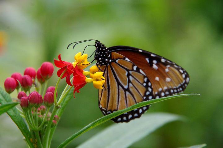 Queen Butterfly feeding - ERNReed