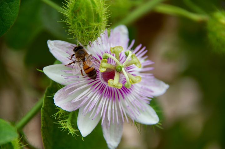 Passionflower and bee - ERNReed