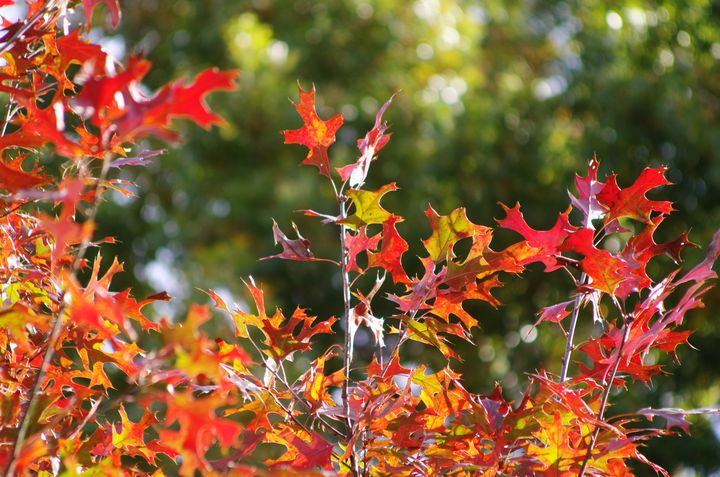 Red leaves in autumn - ERNReed