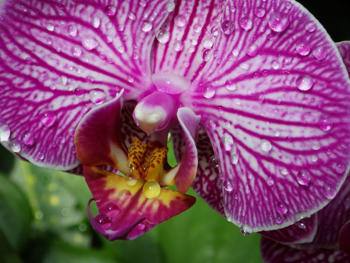 Close view wet orchid - ERNReed