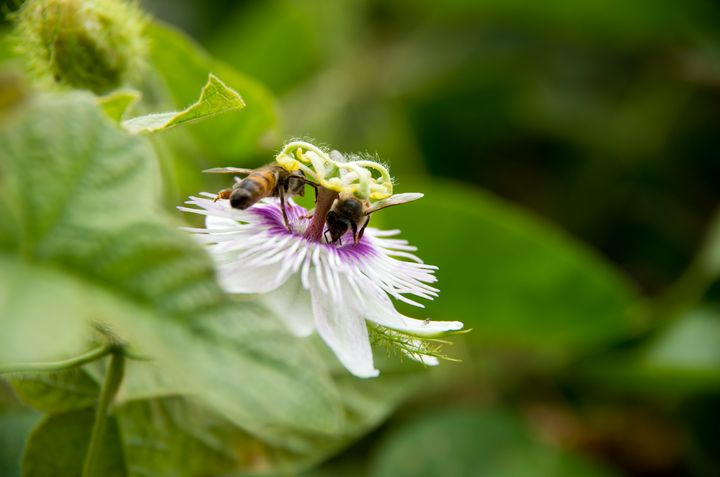 two bees on a passionflower - ERNReed