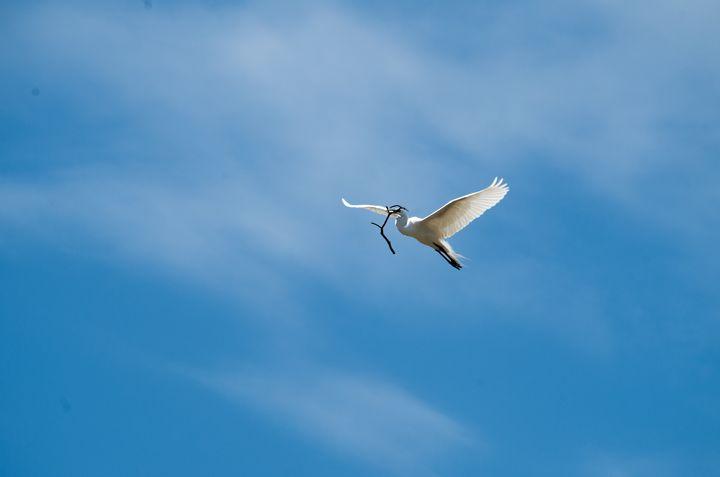 Flying egret with twig - ERNReed
