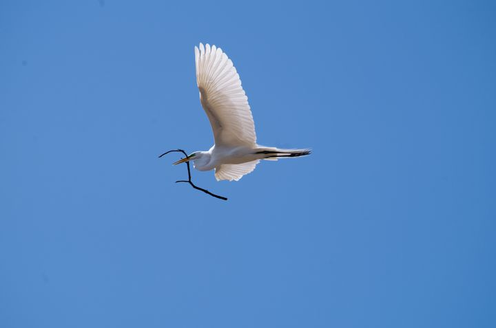 egret flying with twig - ERNReed