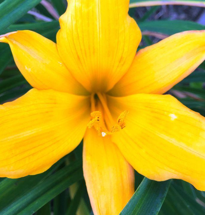 Yellow Lili - Shawn Brandon Art