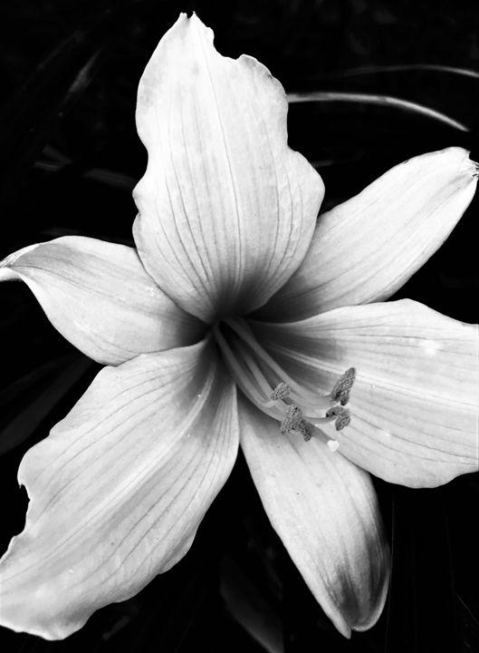 White Lily 2 - Shawn Brandon Art