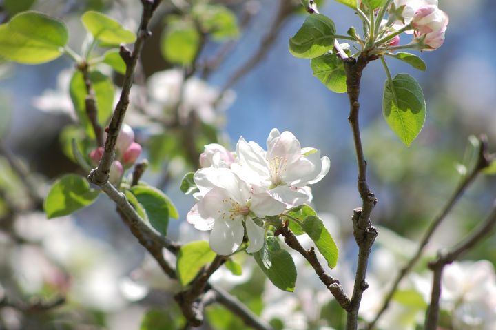 Apple Flowers - Shyanne Photography