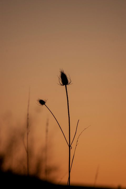 cat tails in mid spring - Shyanne Photography