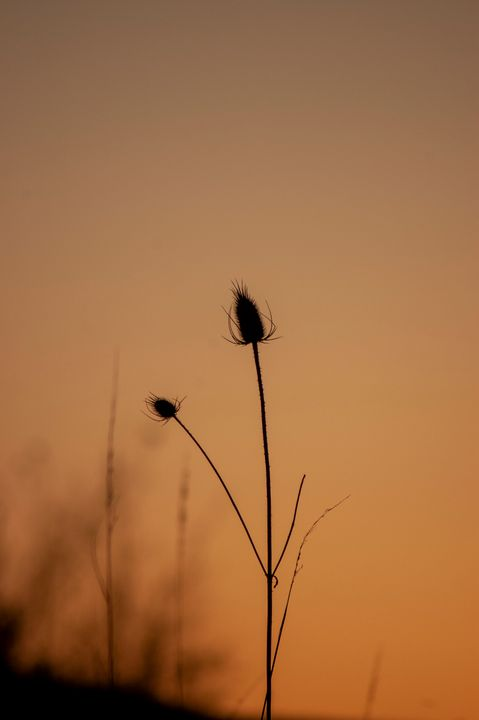 Sunset Cat tail - Shyanne Photography