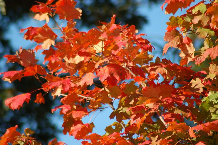 Fall Leaves - Shyanne Photography