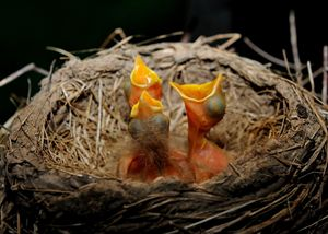 Hungry Robins - Newfoundland art