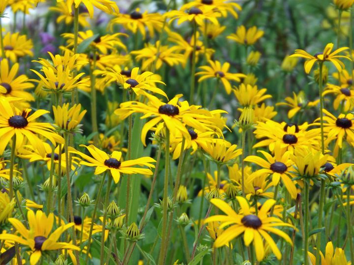 Black Eyed Susans - Beauty to see and feel