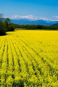 Yellow rape flower field and snow-ca