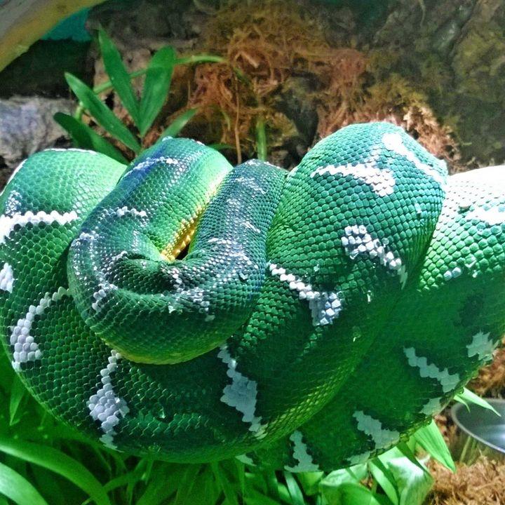 Emerald Tree Boa - AnimalKeeper