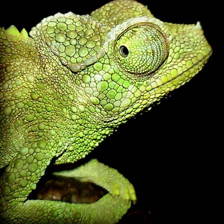 Female Jackson's Chameleon - AnimalKeeper