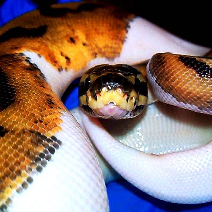 Piebald Ball Python - AnimalKeeper