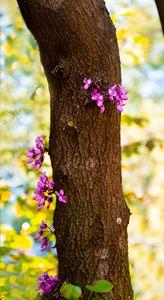 magenta blossoms