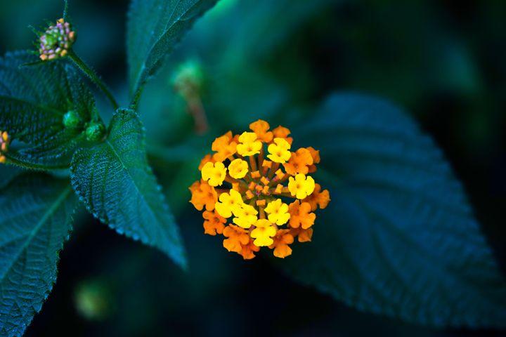 blooming - Parachromal