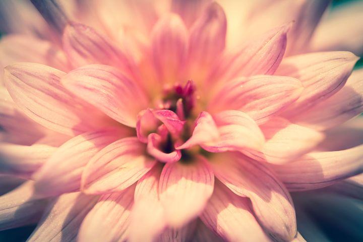 pink flower - Parachromal