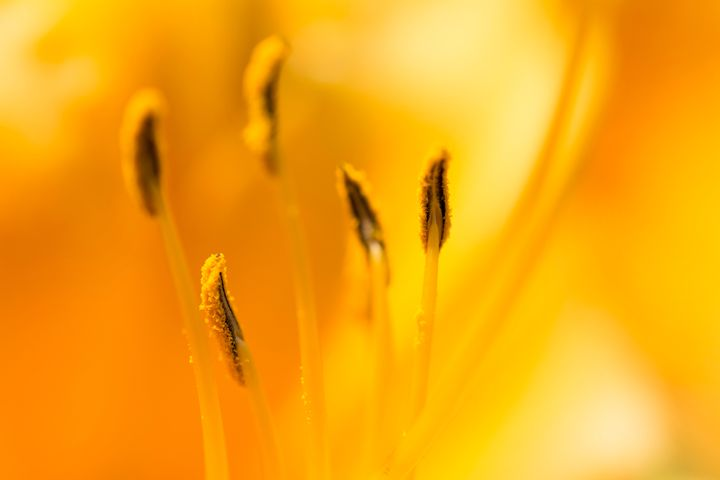 llilly closeup - Parachromal