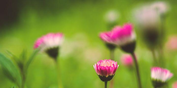 magenta blossoms - Parachromal