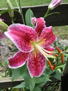 Lily Delight