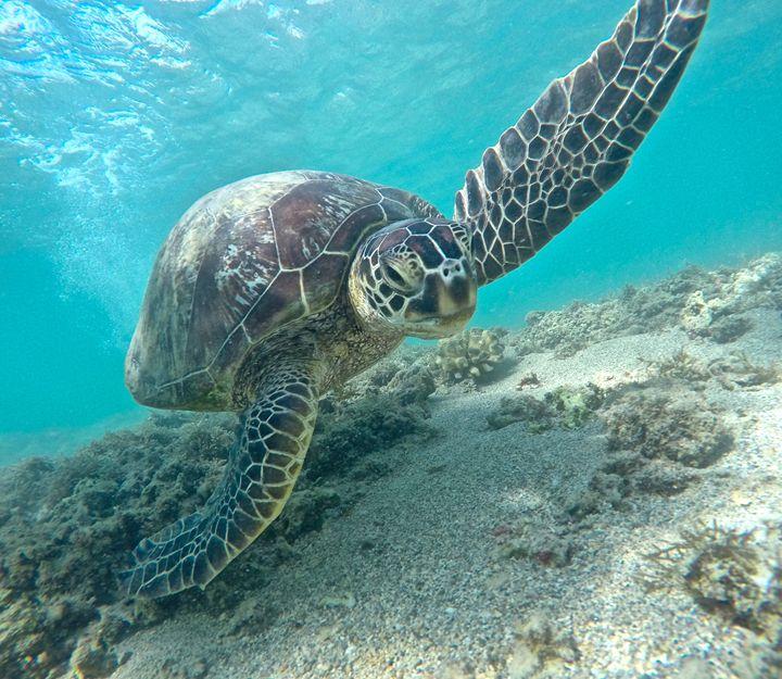 Green Sea Turtle - Gena