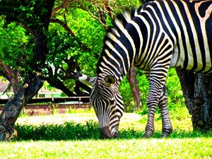 Grazing Zebra